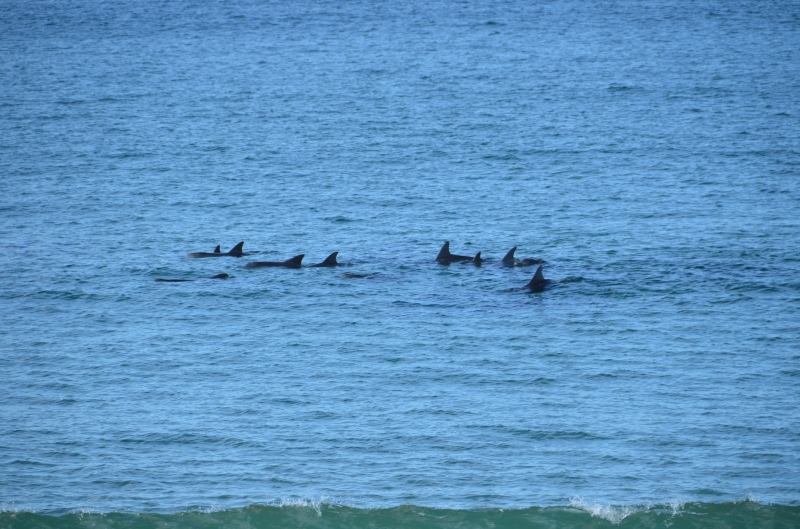 Dolphins acting strangely